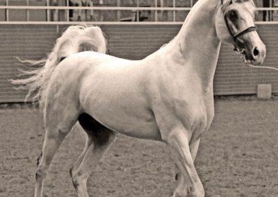 1980 European Champion Stallion *Muslin (*Salon x *Magnolia)