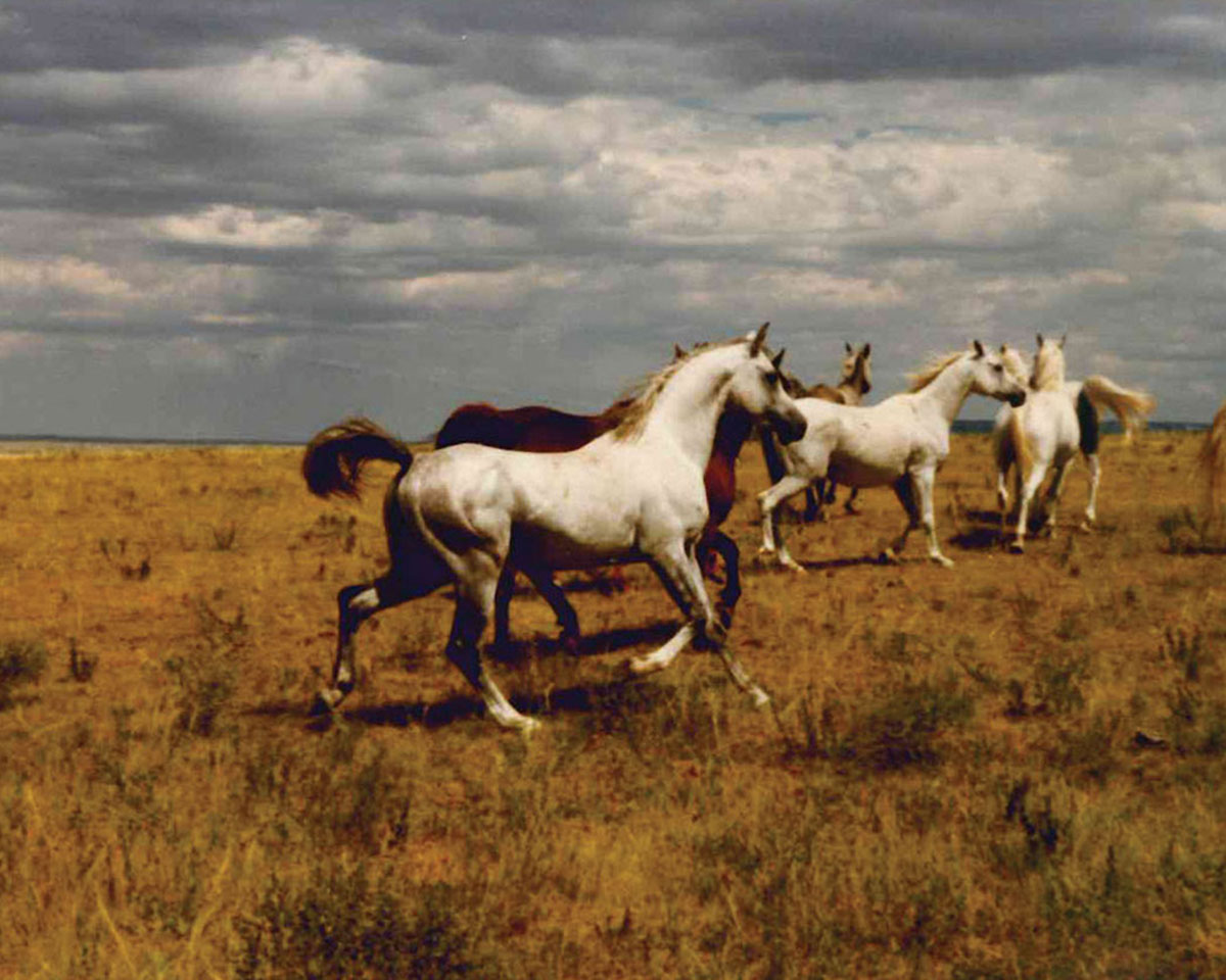 The Most Natural Way to Breed Mares | Arabian Horse World