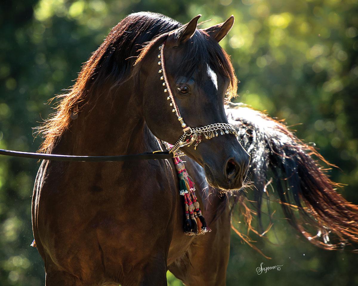 Arabians Ltd