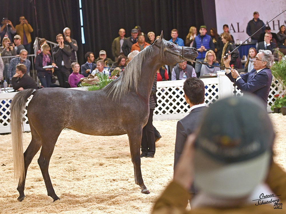 2018 Scottsdale Arabian Horse Show Egyptian Classes and Championship Results