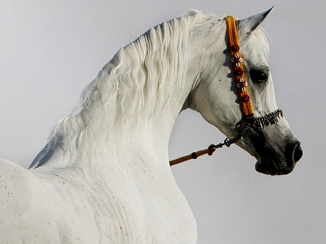 Arabian Horse Breeding In the World Today, Vol.  1