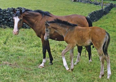 Velvet Shadow (Bey Shadow x Nasim) in 1979 with that special colt.