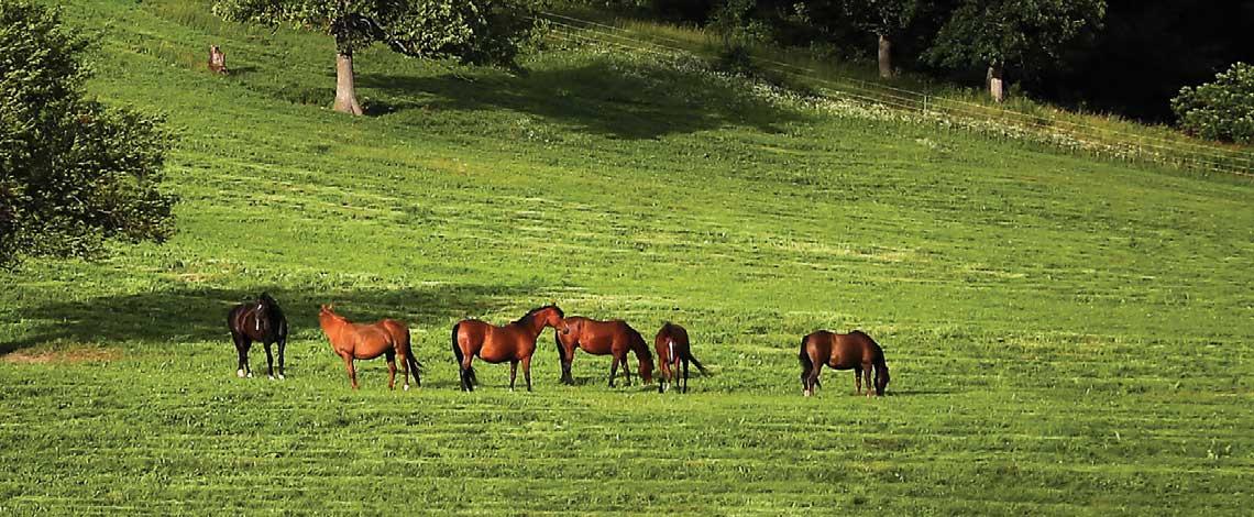 Conway Arabians — A Renaissance