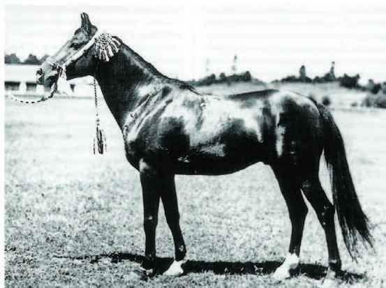 Sire Line - Kuhailan Haifi DB - The Backbone of Polish Breeding
